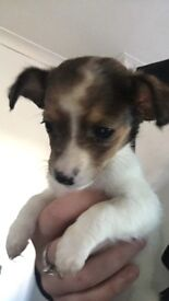 Jackawawa pups £250 2 x bitches 5x dogs ready to go 9th october