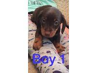 Miniature dachshund pups kc reg
