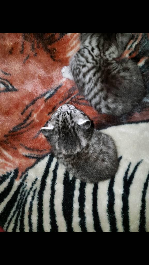 British shorthai silver spot kitten