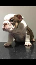 Choc & Tan Male Carrying Blue Available