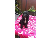 Female cockapoo puppy for sale. Now only one left