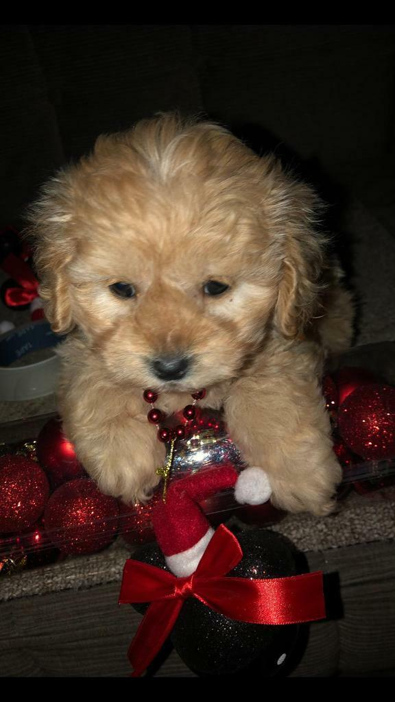 Cavapoo Puppy For Sale In Lytham St Annes Lancashire Gumtree