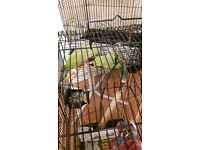 2 INDIAN RINGNECKS & CAGE (Green Hens)