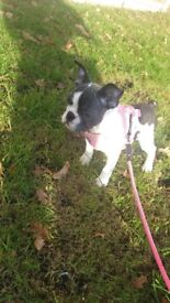 French Bulldog Blue Pied Girl Puppy, 5 Generation KC Registered
