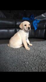 Pure Bred Labrador Pups for sale