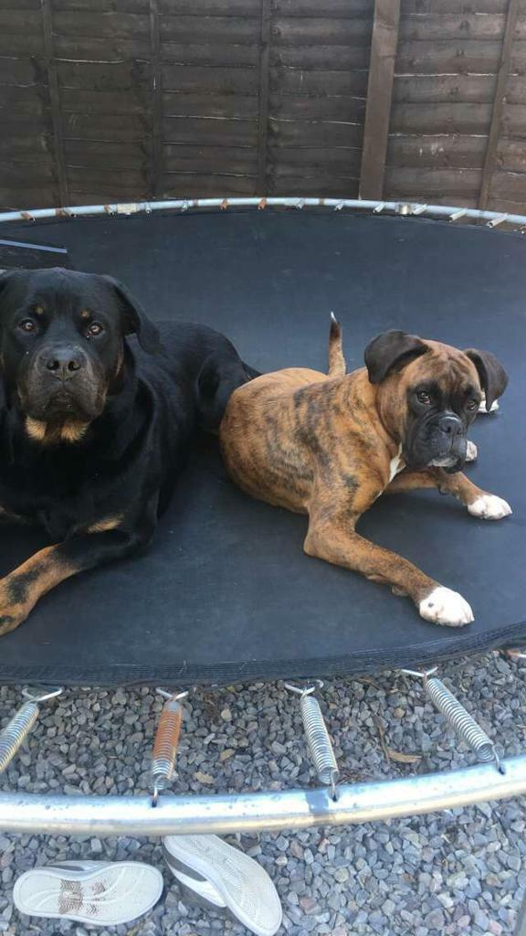 Boxweiler pups (boxer x rottweiler) | in Invergordon, Highland | Gumtree