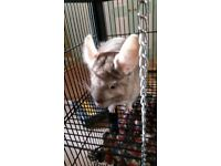 Female chinchilla with large cage etc