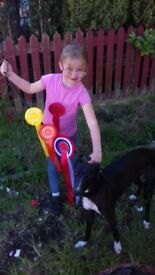 Collie wippet greyhound for sale