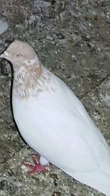 Pigeon for Sale, adana, budapest, light pigeons and more