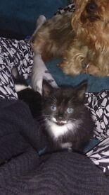 9week old kitten last little girl