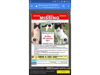 Missing female black and white cat