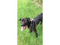 Lab/Staff Male dog s
