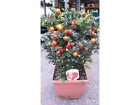 Great Solanum 'Christmas berry' potted plants