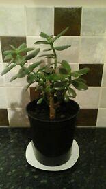 jade plant (money tree)