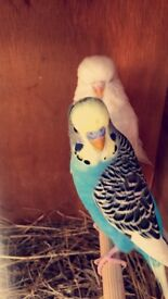Pair of gorgeous budgies