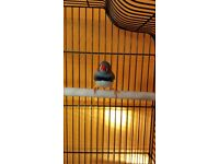 Lonely Male Zebra Finch is looking for a new home