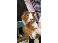 2 male guinea pigs free to good home