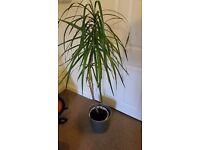 4ft palm plant