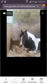 15.2hh & 16hh mares for sale see advert!!