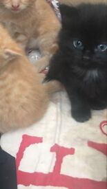Beautiful kittens for sale - ready to go 10th October