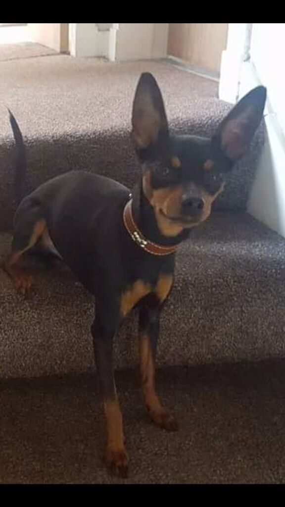 3 year old Miniature Pinscher **No Longer Available**