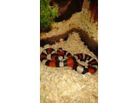 Exo terra vivarium with milk snake