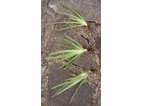 Aloe Vera Barbadensis medicinal house plant