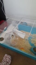 Hamster white body with grey ears and cage and accessories