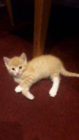 Ginger kitten boy for sale