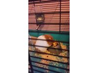 TWO HAMSTER FOR SALE MALE AND FEMALE