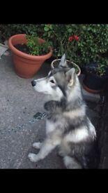 Dog/ Siberian husky (male) for sale