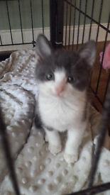 Russian Blue x kitten female