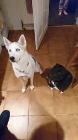 Female siberian husky and male collie cross.