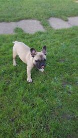 Adorbale fawn French bulldog boy for sale