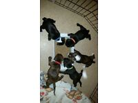 Staff / Staffie / pups 3 boys looking for forever homes