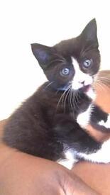 14 week old Tuxedo Kitten