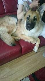 German Shepherd bitch £300