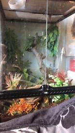 Crested gecko Dalmatian exo Terra set up
