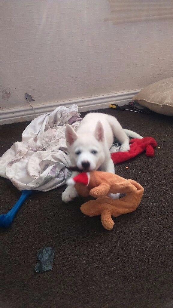 15 week husky boy