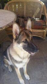 11 month old german shepherd