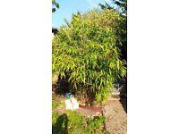 FREE Bamboo plant, 1m x 1m x 3m high.