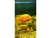 LARGE PARROT FISH FOR SALE