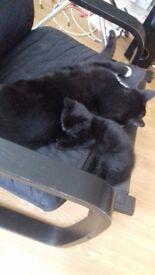 Kitten for sale £90