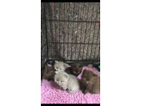 British Shorthair Male Kittens