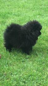 Tiny black white Pomeranian little girl