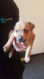Bluestaff/Staff puppys for sale