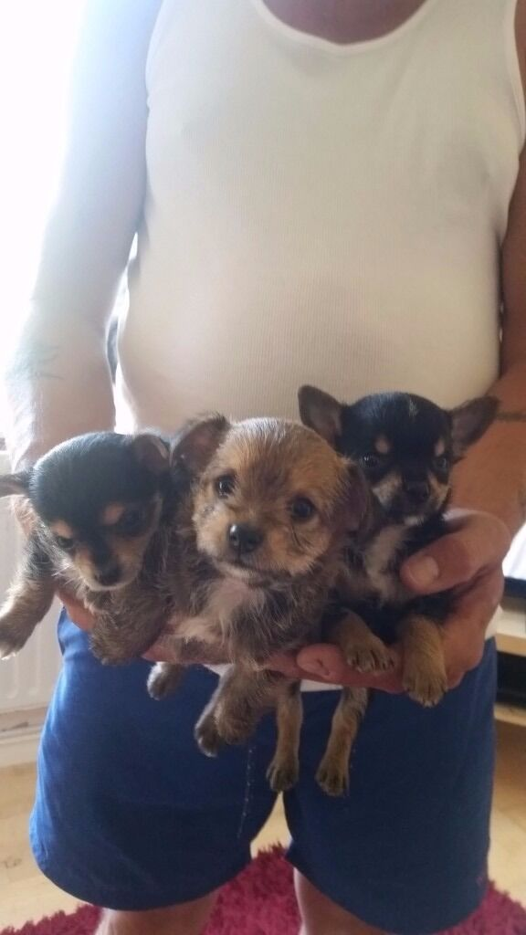 Yorkie Cross Chihuahua Pups In Poole Dorset Gumtree