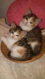 Fluffy tabbies kittens ( ginger/ white/gray)