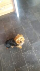 Yorkshire terrier (teddy) last one left