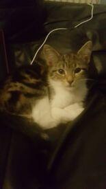 16 week female kitten ..location smithswood birmingham